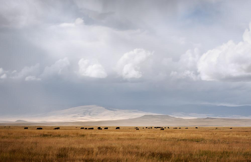 Cows Grazing, Open Range