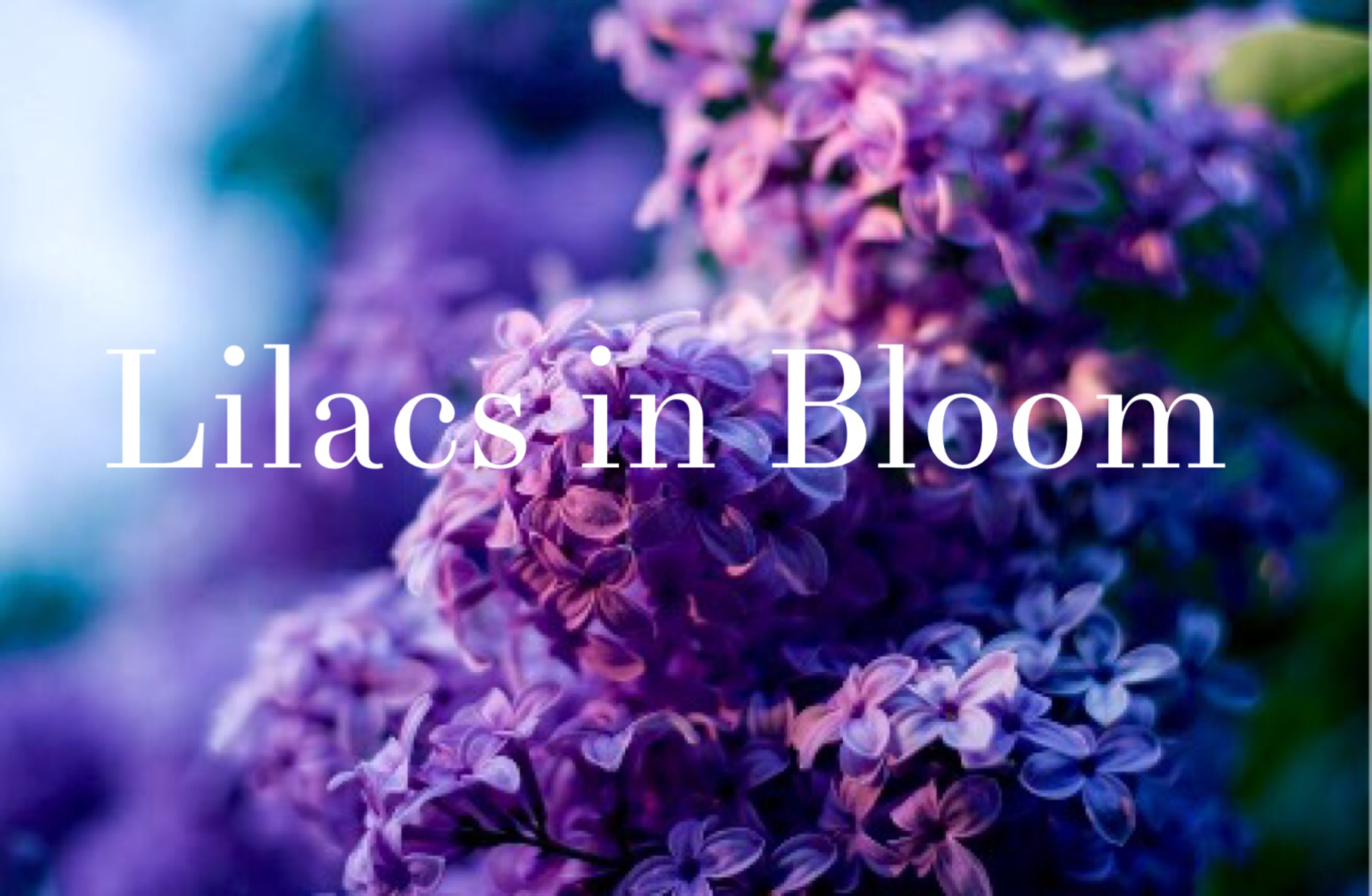 The fragrant scent of blooming lilacs.