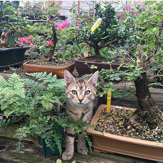The best greenhouse tour guide around 😻scoping out some bonsai trees today!! . . . . . . . #bonsaipots #bonsaitree #bonsailove #gardencat #greenhouselife #gardengirl #greenhousegoals