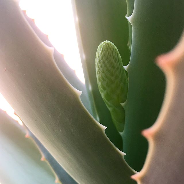 I'm dying for spring to hurry up and get here already, but in the meantime I was thrilled to find a flower bud on my aloe plant! This is the first time it has flowered in the 3+ years I've had it 😍swipe to see the full plant in all its glory! It's grown to have a wingspan of nearly 3 feet across!!
