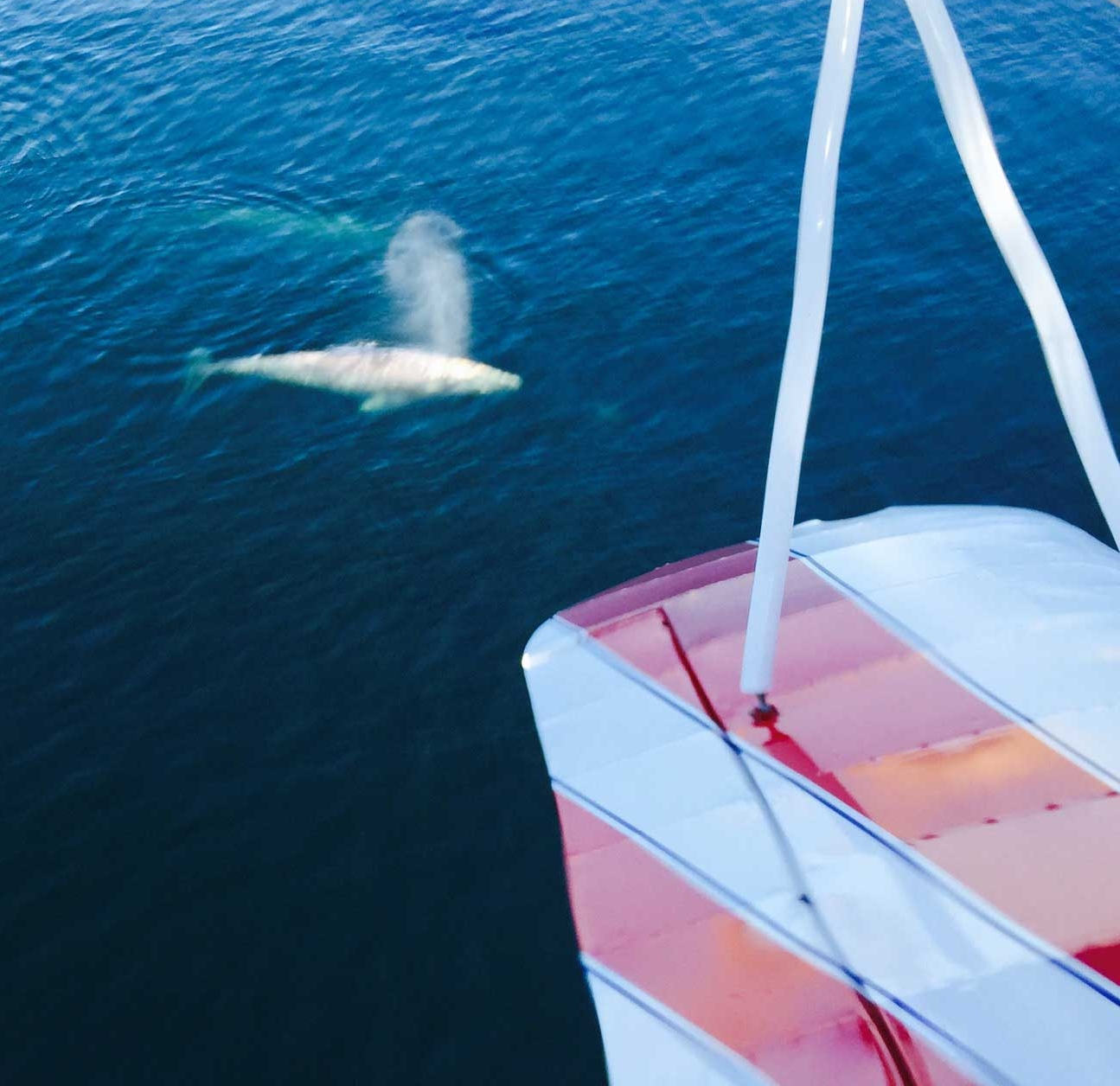 """Gray Whale saying """"Hello"""" as seen off Torrey Pines with our Biplane."""