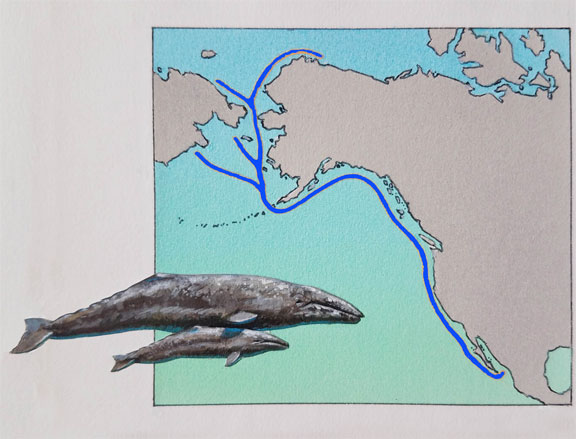 Gray Whale Migration Pattern