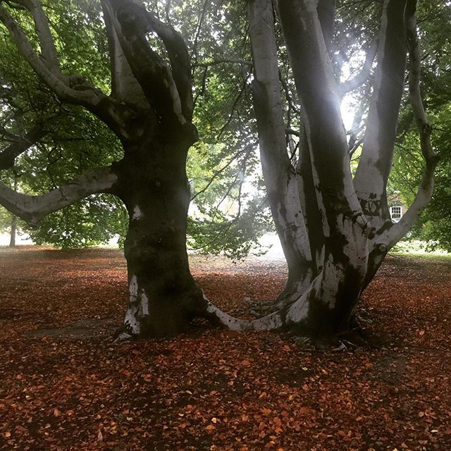A beech forest is very dark and few species of plant are able to survive there, where the sun barely reaches the ground. Young beeches prefer some shade and may grow poorly in full sunlight. In a clear-cut forest a European beech will germinate and then die of excessive dryness. Under oaks with sparse leaf cover it will quickly surpass them in height and, due to the beech's dense foliage, the oaks will die from lack of sunlight.  The town of Brookline, Massachusetts (pictured) has one of the largest, if not the largest, grove of European Beech Trees in the United States. The 2.5 acre public park, called 'The Longwood Mall', was planted sometime before 1850 qualifying it as the oldest stand of European beeches in the United States.