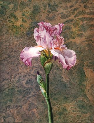 Iris a la John Cody