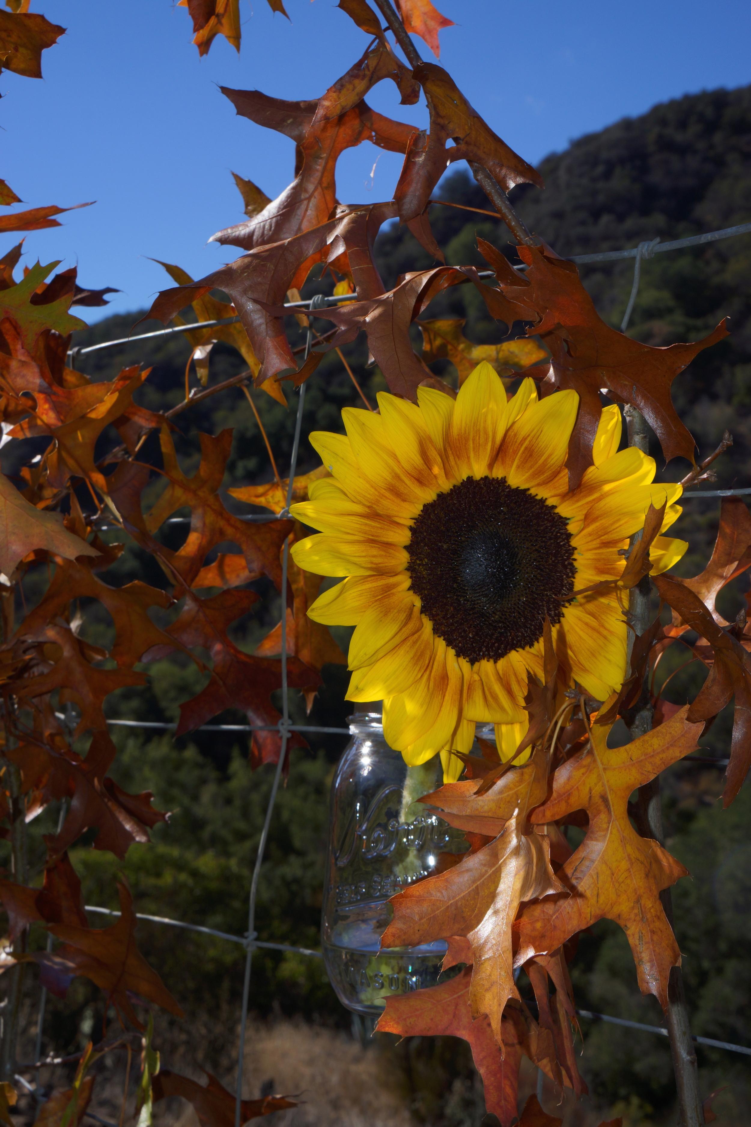 sunflower_fall_leaves.jpg
