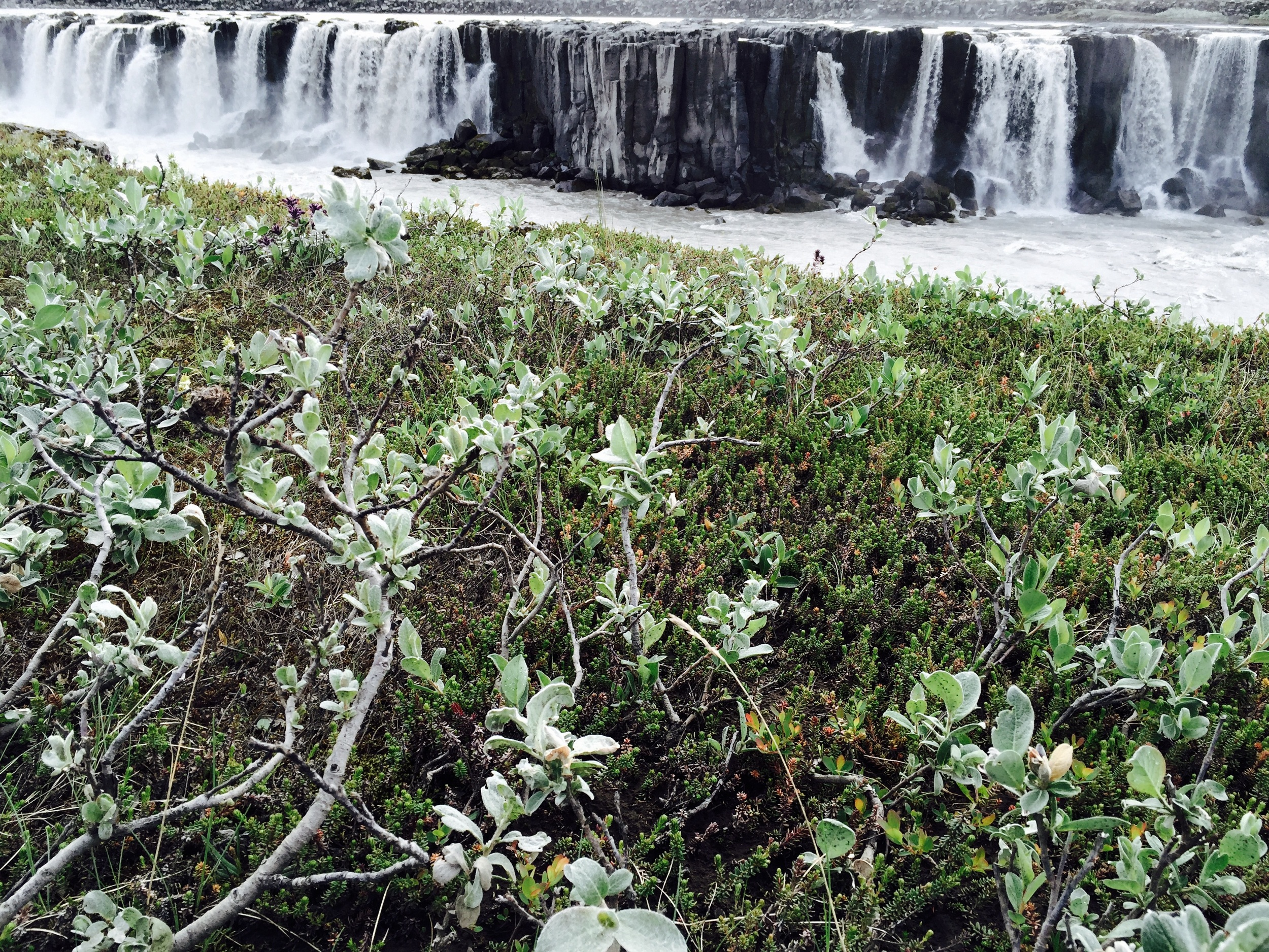Selfoss, my favorite, with Arctic thyme