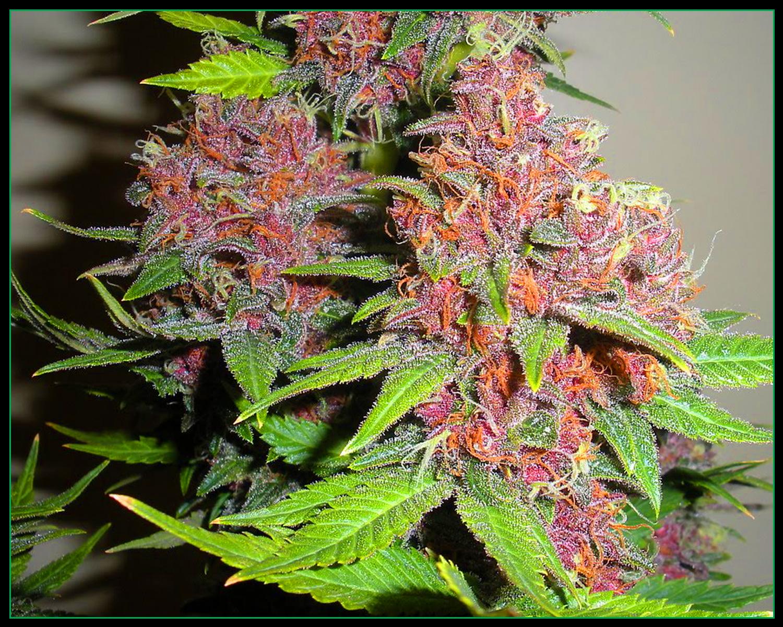 bmbz-pics-1-weed11.jpg