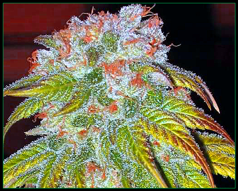 bmbz-pics-1-weed10.jpg
