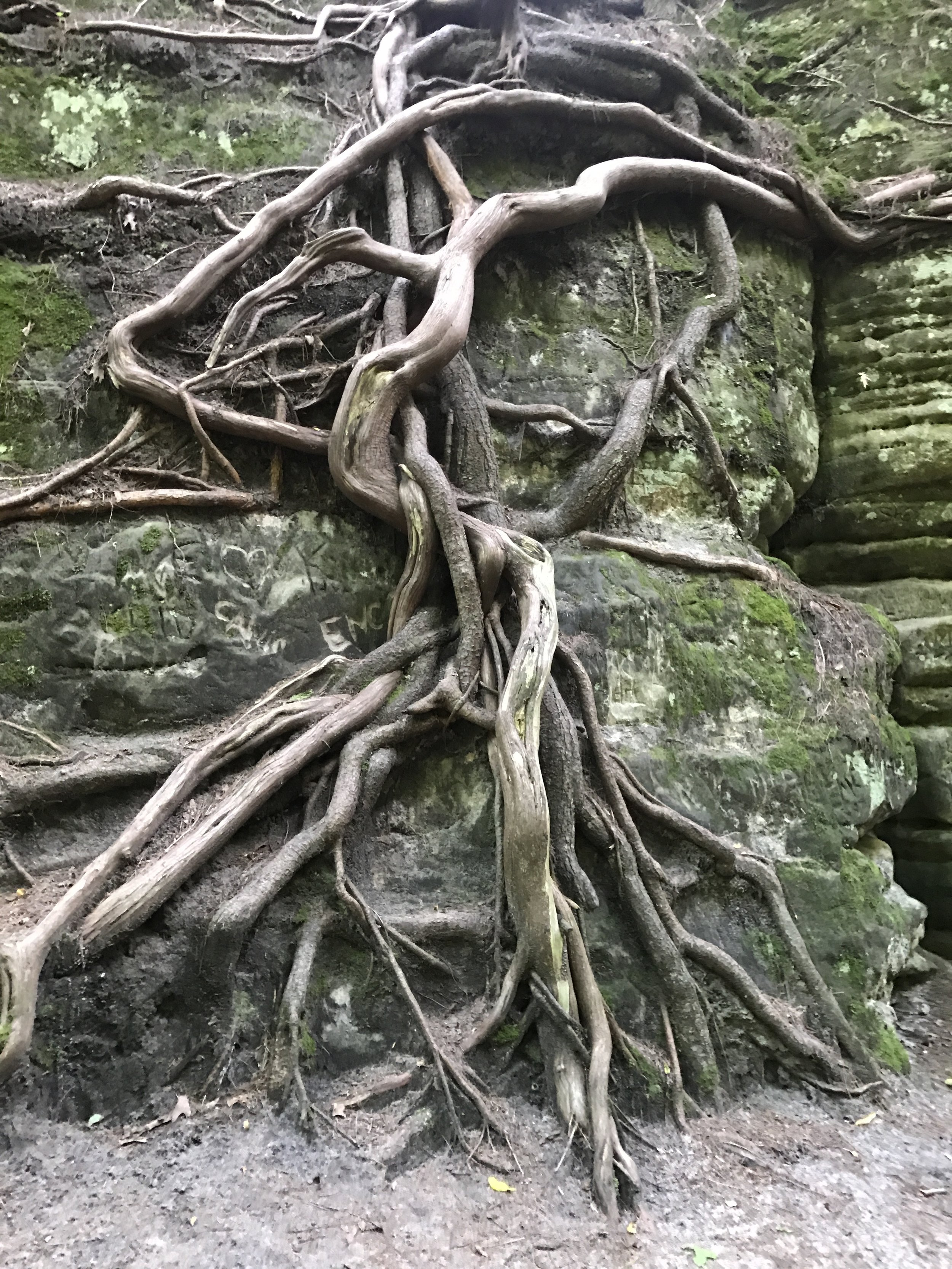 Waterfall of tree roots