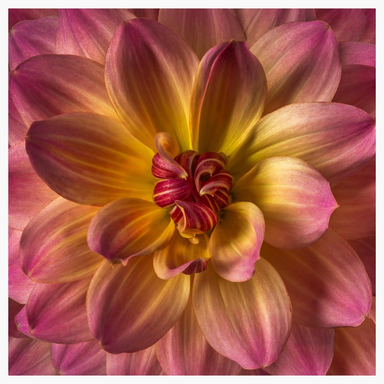 05.12.13_Pink_Yel_Dahlia_001_0018-Edit.jpg