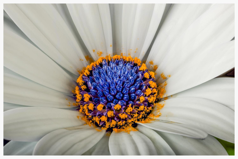 05.14.13_Blue_White_Daisy_069_114-Edit.jpg
