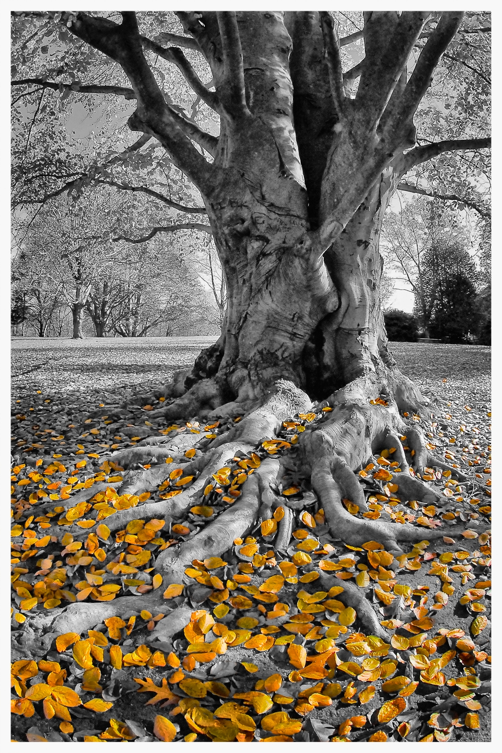Beech Tree on the Grounds at The Old North Bridge