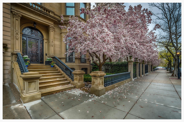 Cherry Blossoms in Boston