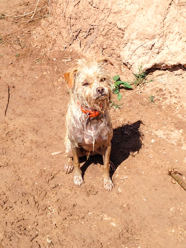 Grom was so stoked to get in that muddy water. He was happier than a camel on Wednesday.