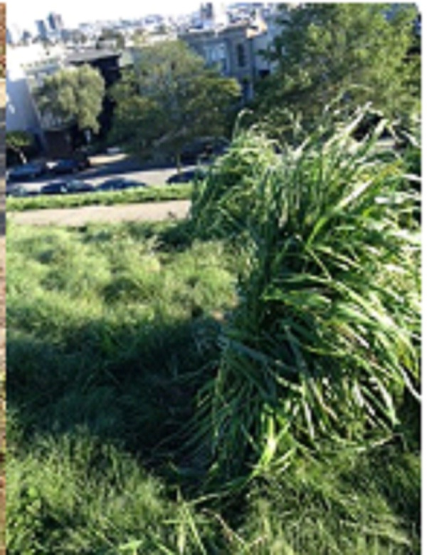 Friend of Alta Plaza Park Kathryn Kenna took this photo showing weeds growing as high as her waist.
