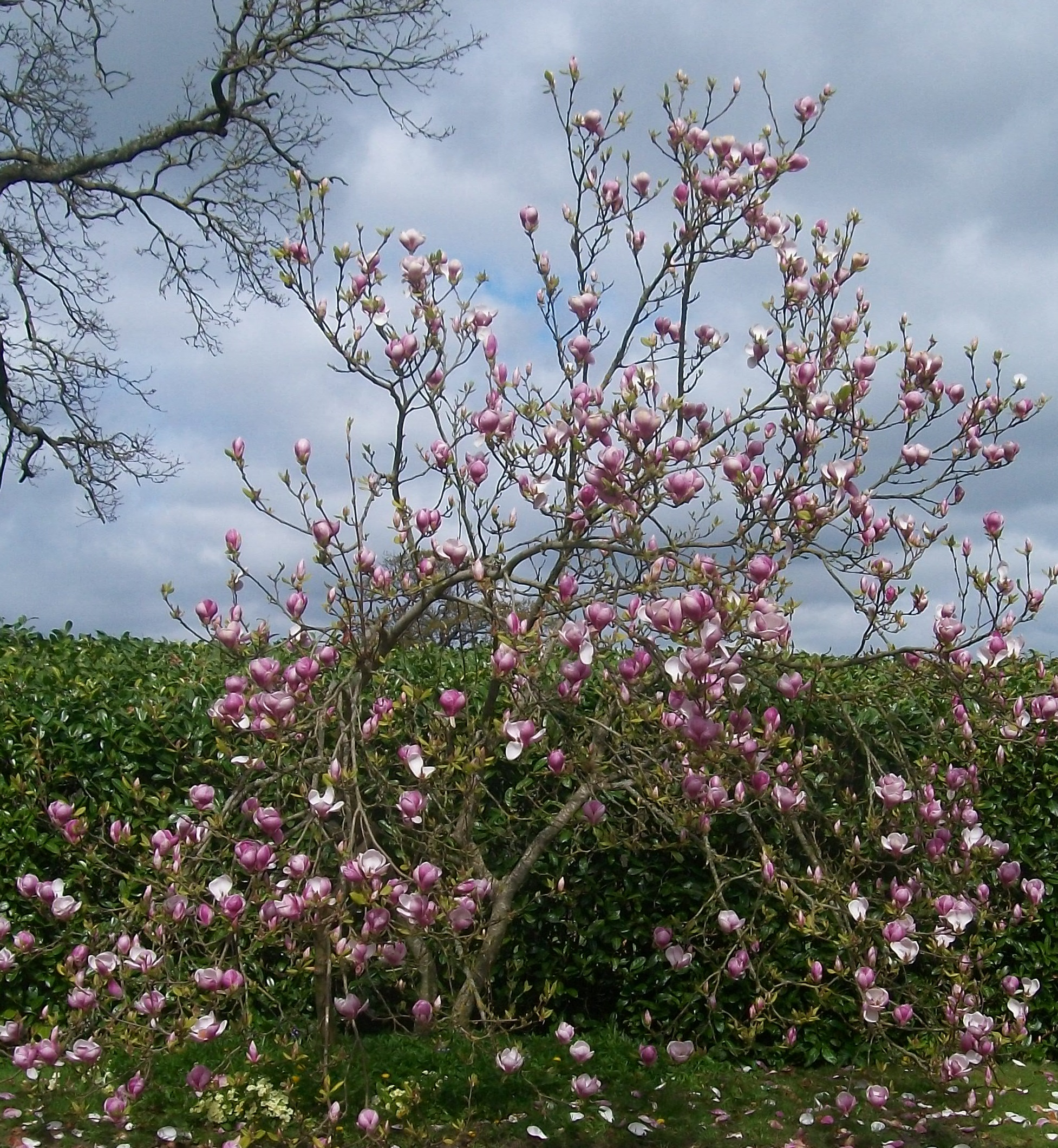 Magnolia tree outside the front door