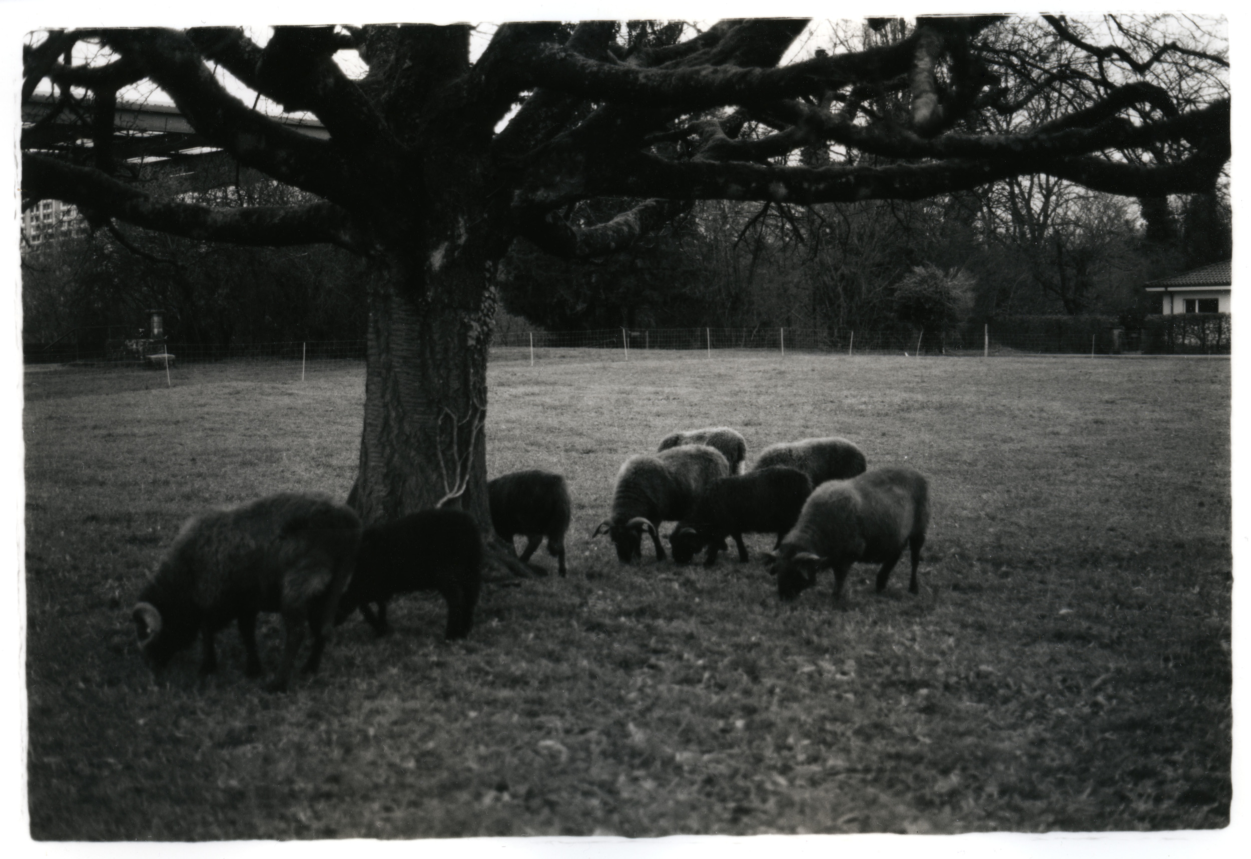 Sheep    Silver Gelatin Print, Switzerland, 2014