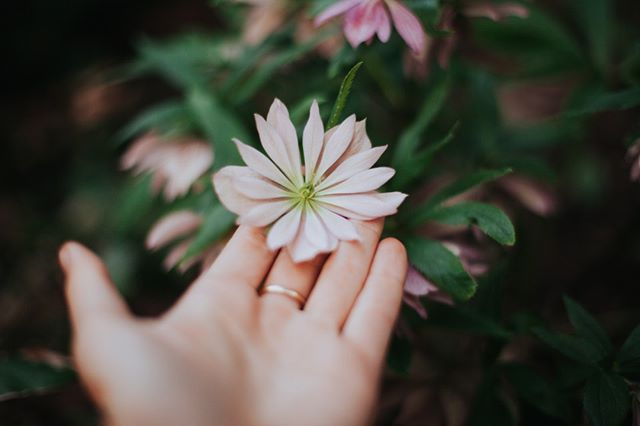 It's ok to bloom gently. . . . #doublehellebore #hellebore #bloom #gently #softfocus #canon #50mm #garden #secretgarden #getoutside #justbreathe