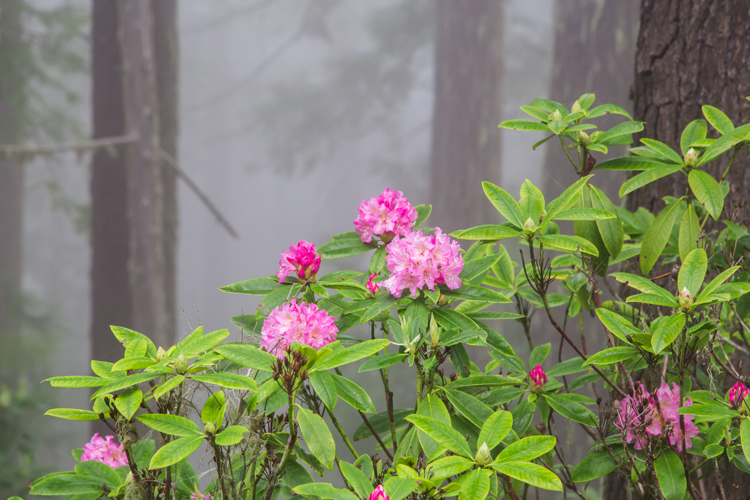 Wild rhododendron in the fog