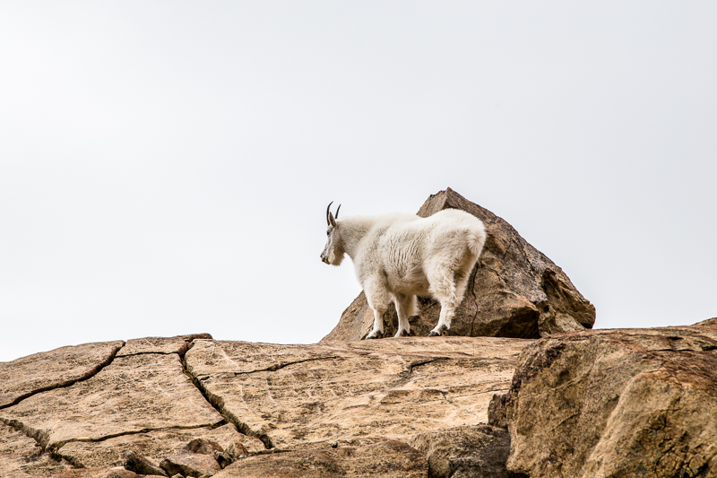 Mountain goat at Lake Ingalls, shot from a distance.