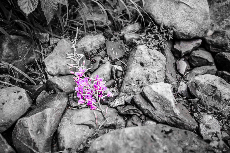 Fireweed found picked and thrown aside at Heather Lake