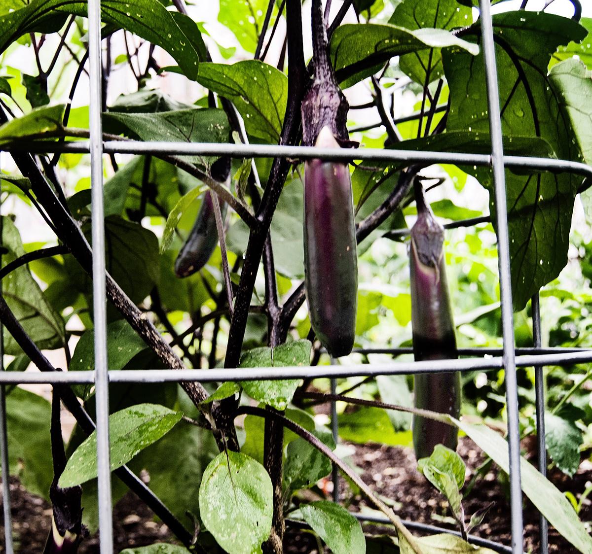 Ichiban Asian Eggplantss