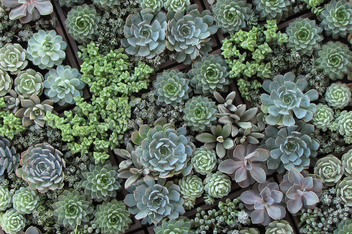 Planted succulent centerpieces with Echeveria 'Perle von Nurnberg', Echeveria derenbergii, Echeveria hybrid 'Lola', Fenestraria aurantiaca, Crassula rupestris, Echeveria hybrid 'Carribean', Echeveria elegans, Echeveria parva, Sedum spathulifolium 'Capo Blanco', Kalanchoe tomentosa, and Graptopetalum paraguayense 'Ghost Plant' in 12 inch wood boxes. By wedding florist Floral Verde LLC in Cincinnati, Ohio.