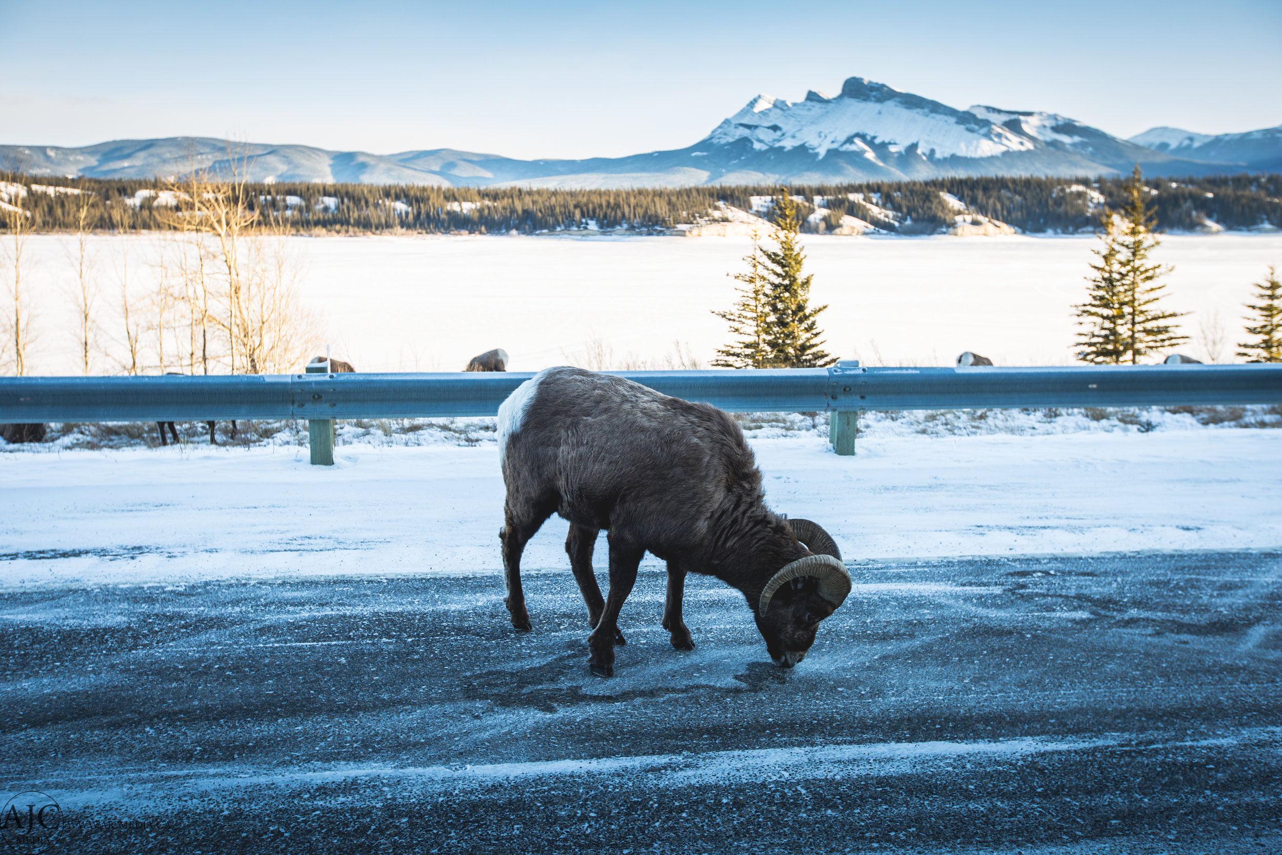 Finding salt during the winter comes down to licking the road...I'm glad I'm not a goat.