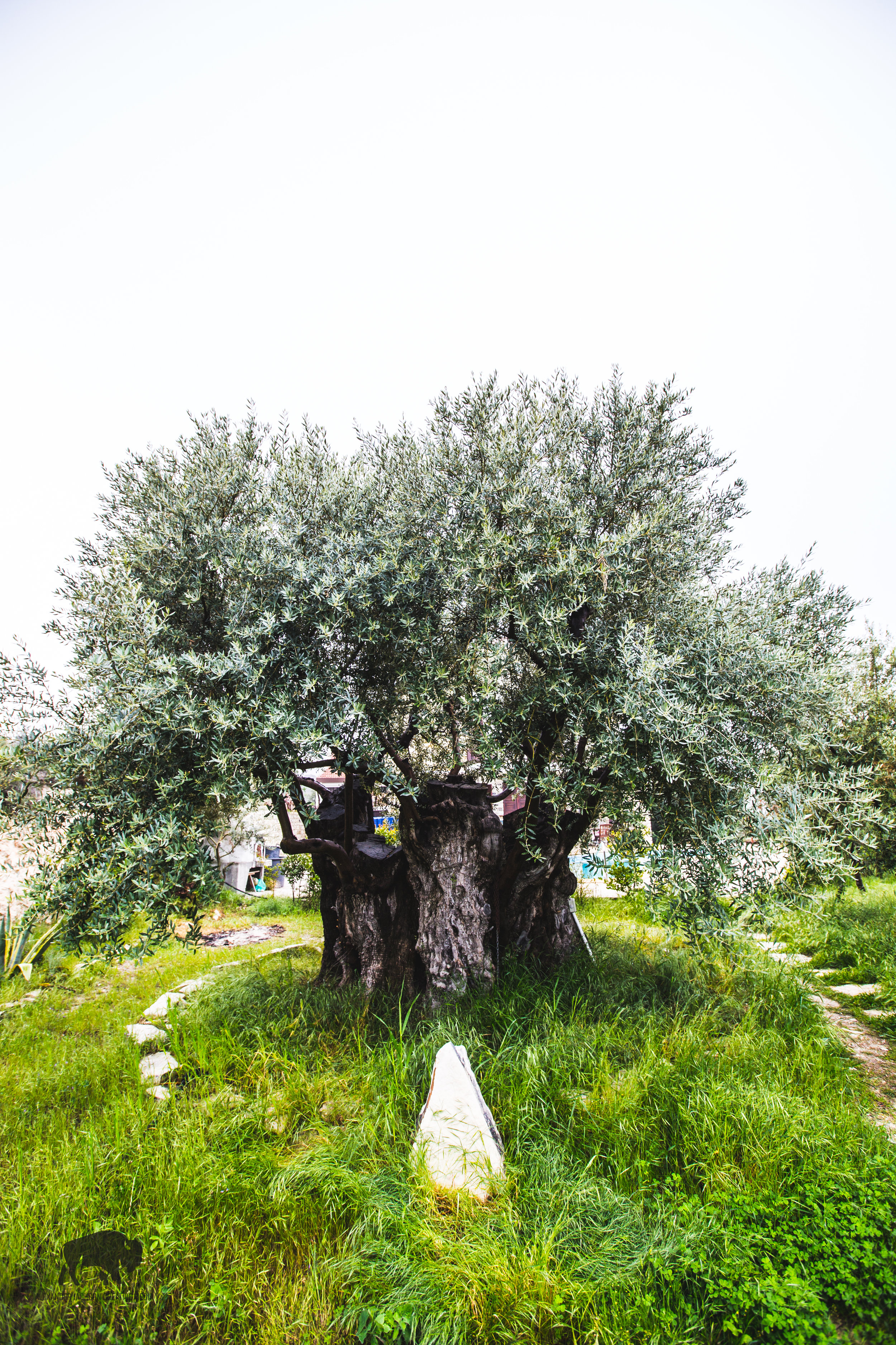 An extremely old (400 years?) olive tree in the backyard of the olive farm that we visited on our last day.