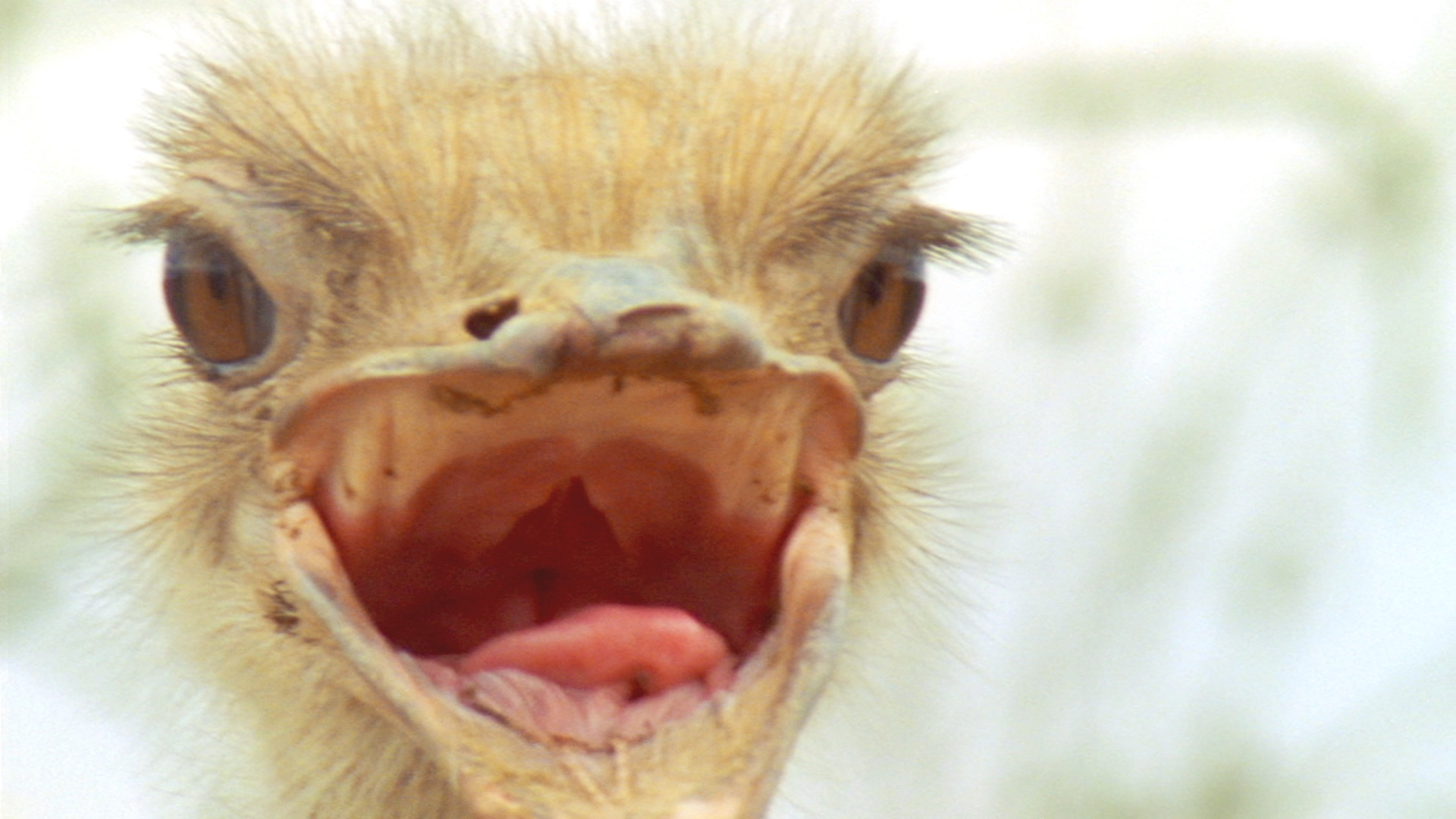 DC - ZM FunFacts 0419_Ostrich_NoTeeth.jpg