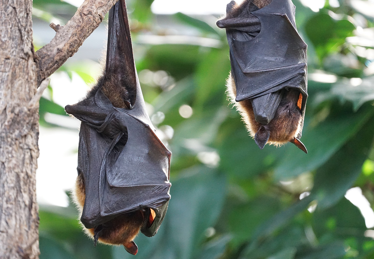 flying-foxes-2237209_1920_edited.jpg