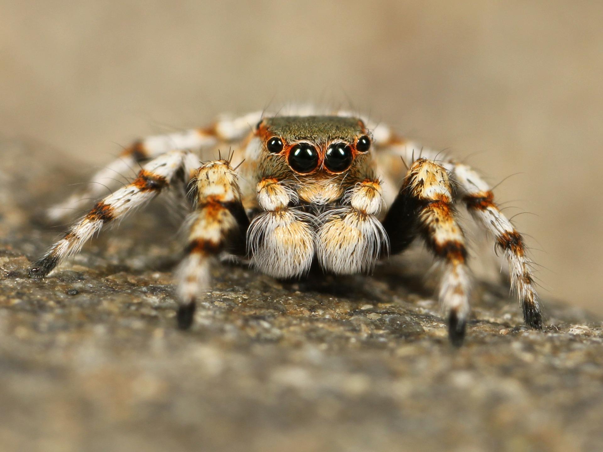 jumping-spider-111075_1920.jpg