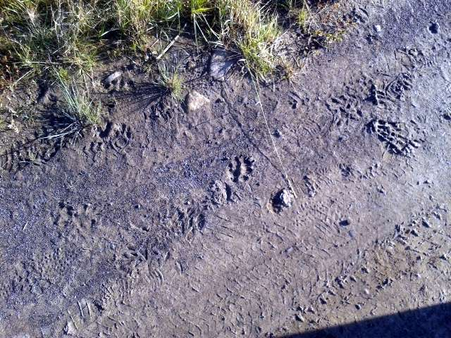 Crash course in identifying bear tracks