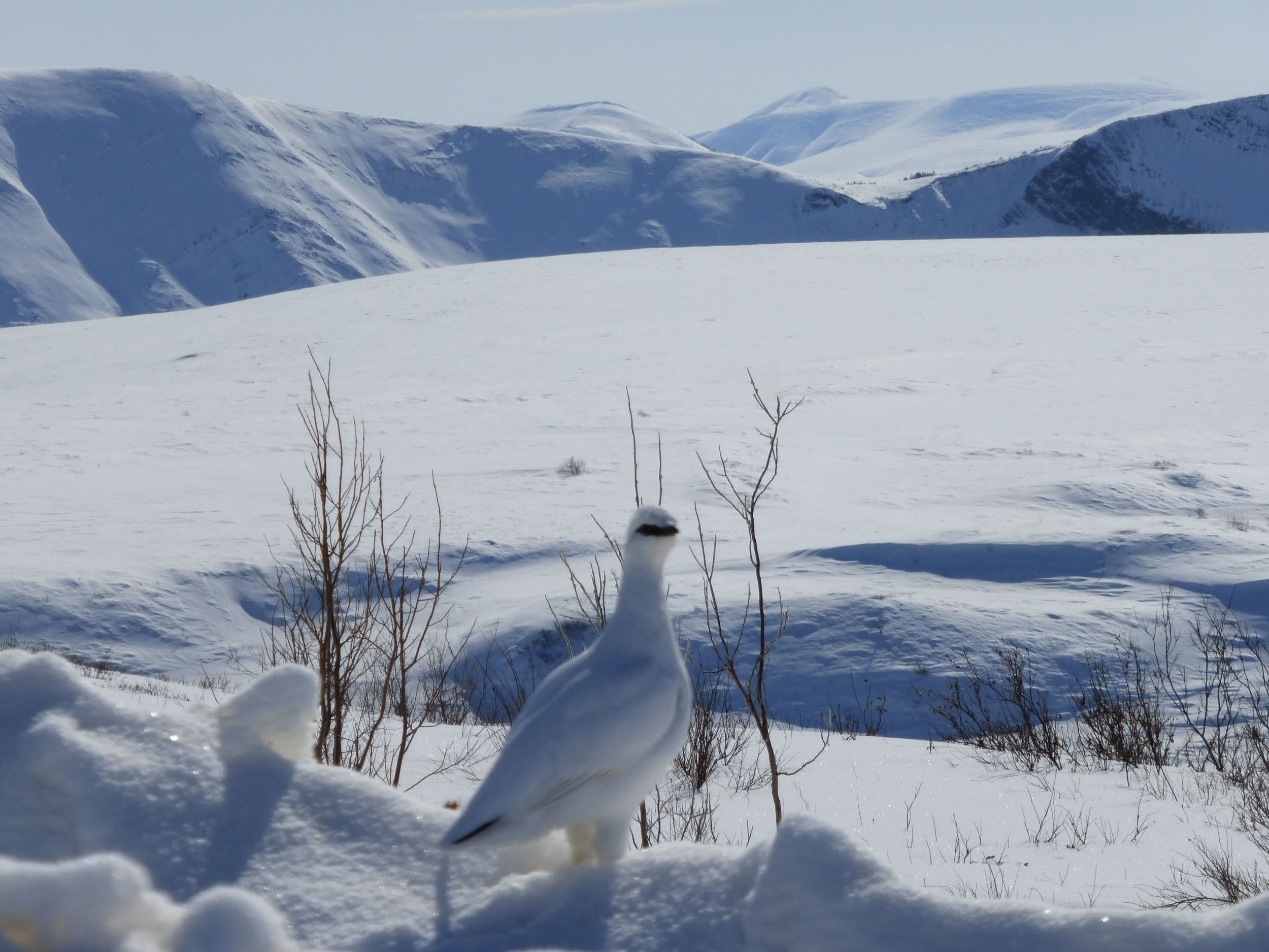 The elusive snowbird, Tarmigan