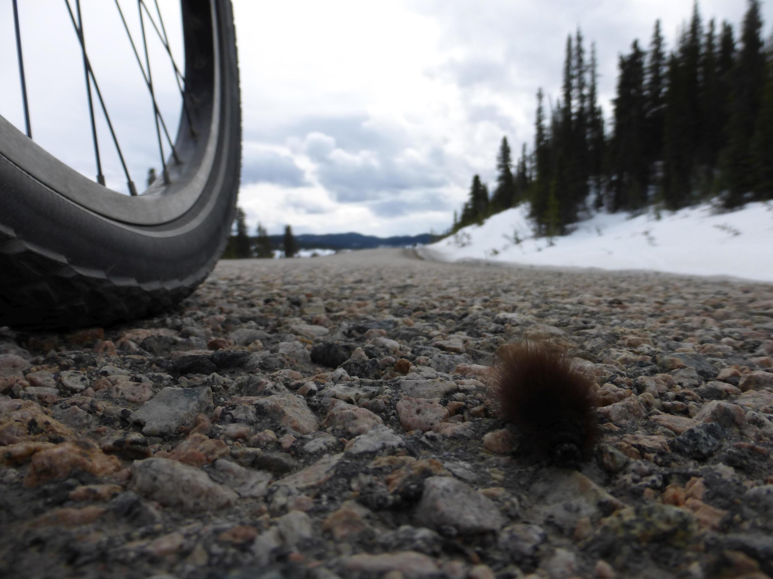 One fluffy crawlie on the road.