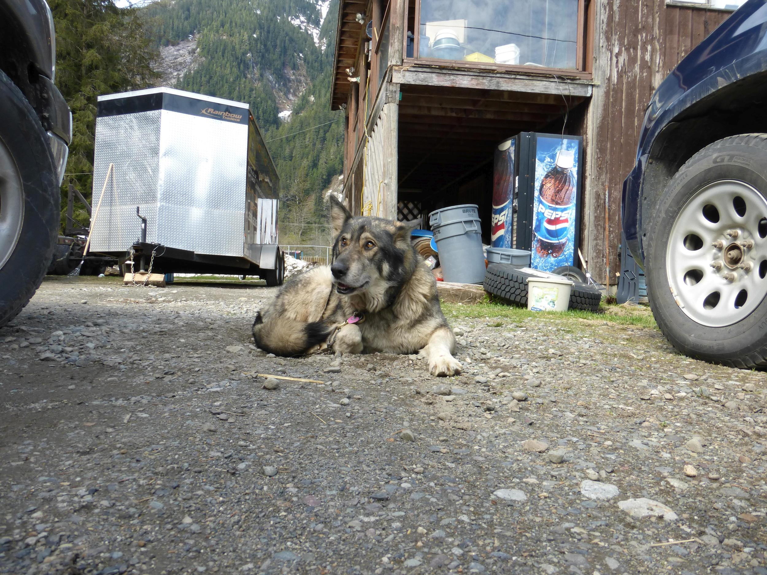 A vicious part wolf dog!