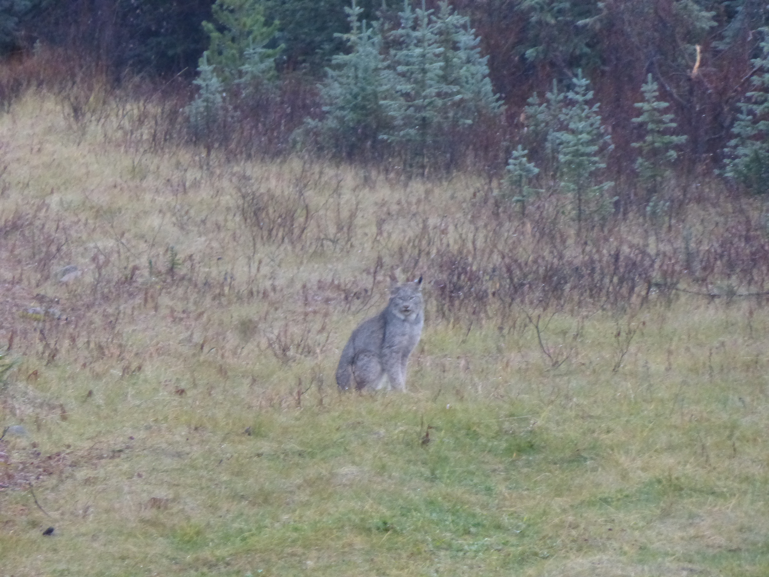 Coming around a corner I had my first wildlife encounter (albertans don't count!) a Lynx!