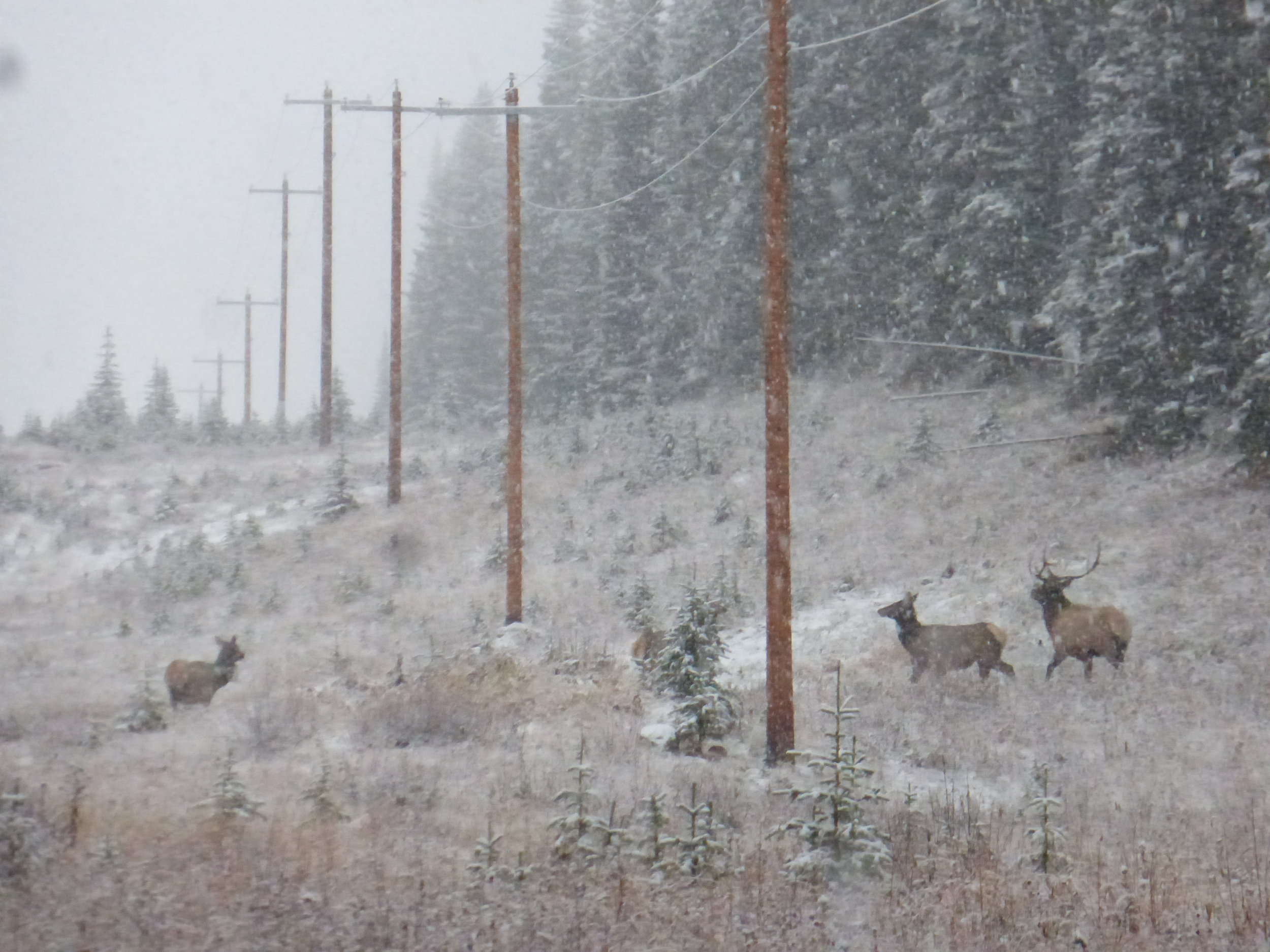 Some elk enjoying the snow, almost as much as me!