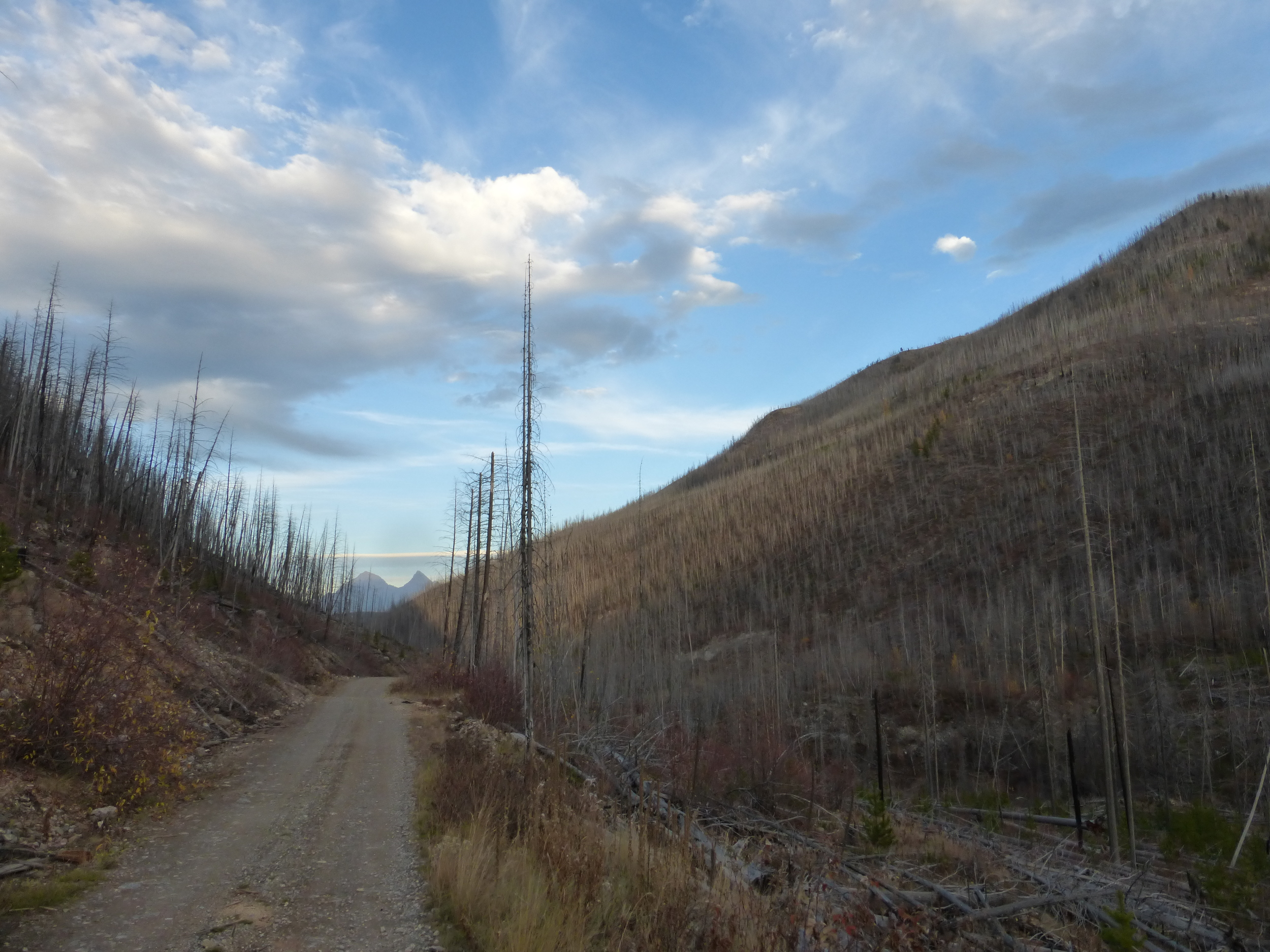 A fire swept through the area, or pine beetle, or both? Glacier National Park's mountains in the distance.
