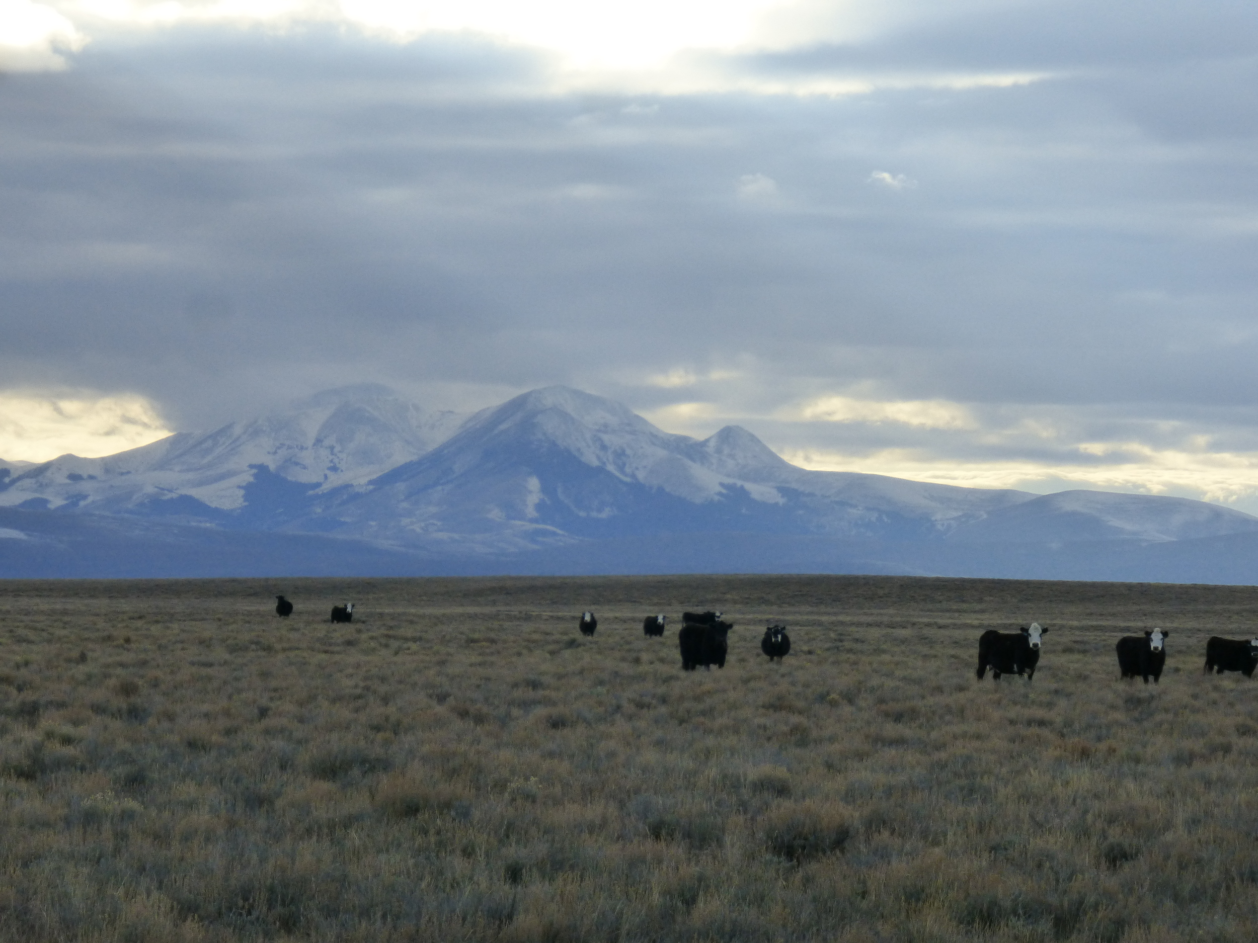 People in Montana are outnumbered 4:1 by cows. Montana has a population of about 1 million. That's a lot of cows!