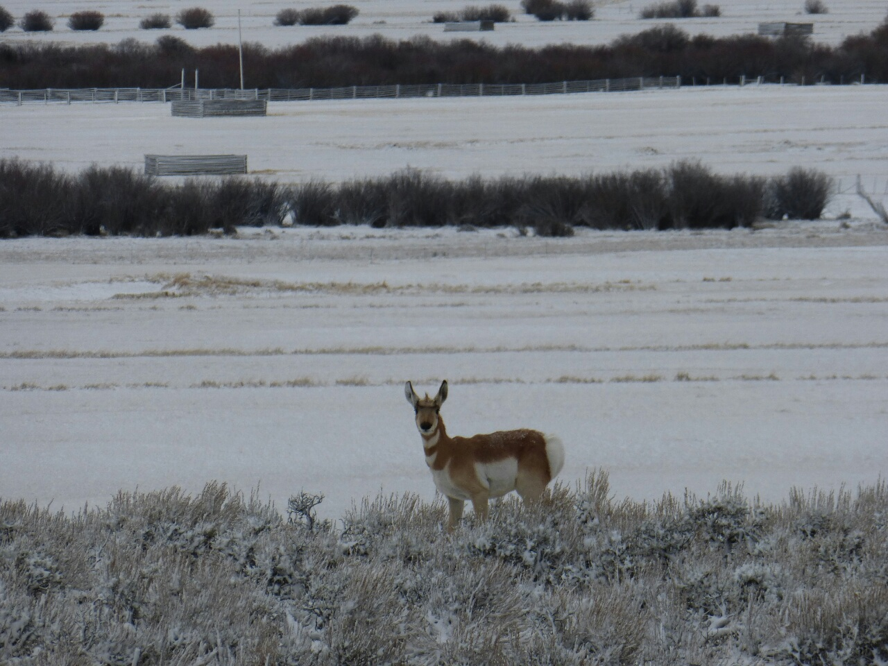 """First Antelope sighting, I bet it was his first """"Winter Divide Cyclist"""" sighting too"""