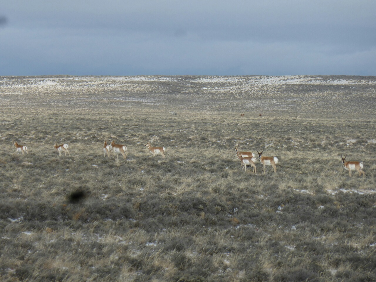 Antelopes. Herbert the black smudge makes a guest appearance, looks like he has family now, there's two... no 3 of them!