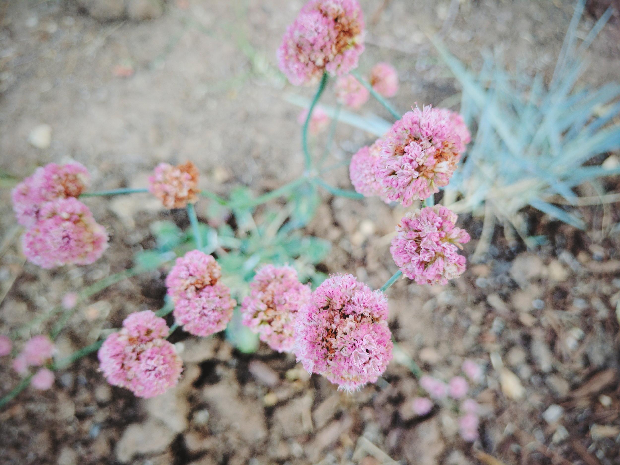 pink flowers_kaitlin coghill.jpg