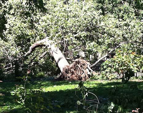 Hurricane Irene toppled many trees in the park