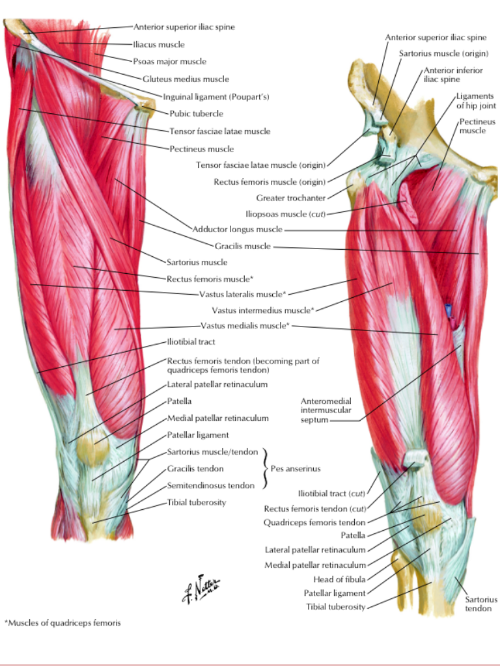 Reference: Netter, Atlas of Human Anatomy