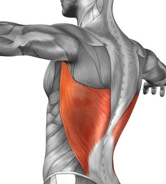 The anatomy of the Lats - they are like the 'wings' of our body