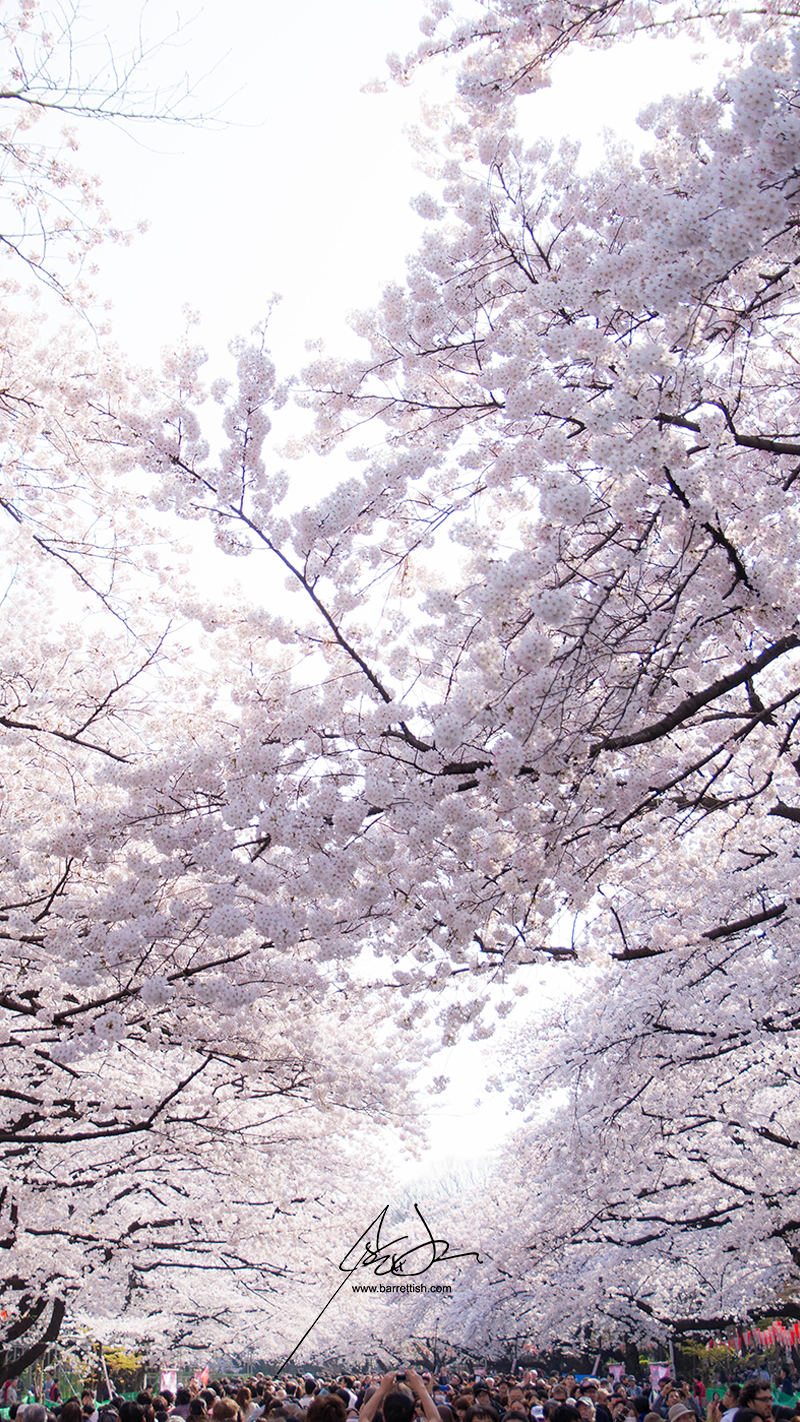 Lunch time hanami in Ueno, Tokyo   DOWNLOAD