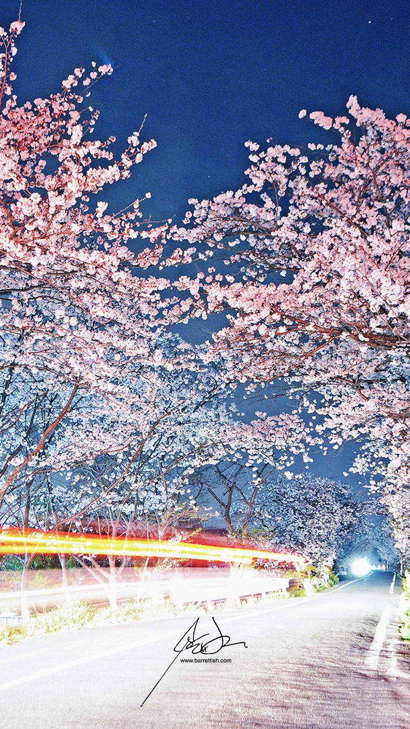 A car leaves light trails under cherry blossoms in Yukuhashi, Fukuoka   DOWNLOAD