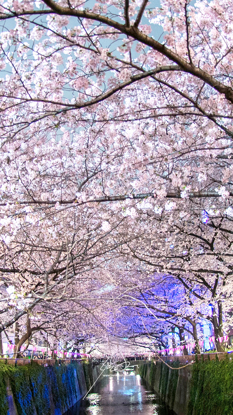 A cherry blossom canopy covering the Meguro River in Naka-Meguro, Tokyo   DOWNLOAD