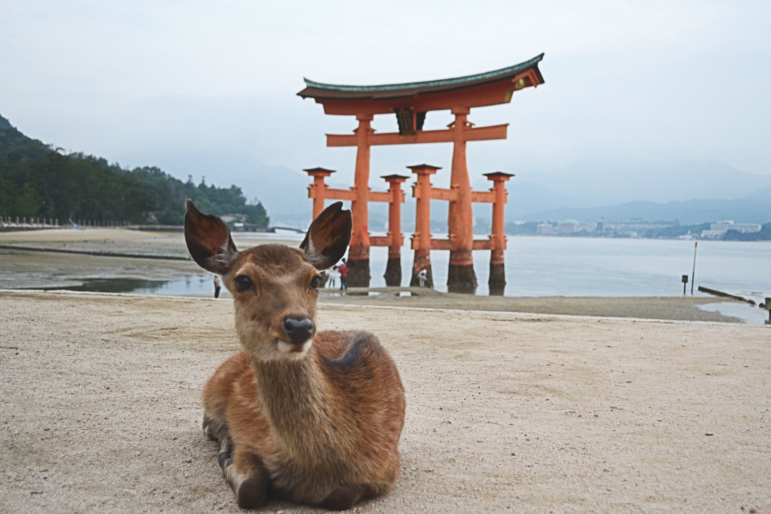 A deer sitting at Miyajima